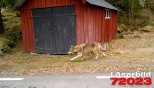 Vargen i Vad är mycket orädd. Förra veckan fångades den på bild av en av DT:s läsare.