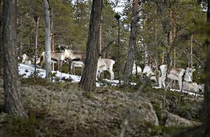 Renarna betar fridfullt på en bergknalle vid svarttjärn utanför Sollefteå.