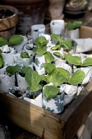 Italienska pumpaplantor växer till sig i Lindas växthus.
