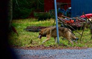 Vargen på bilden har inget med vargen i artikeln att göra. Foto: Claes Söderberg / Arkiv
