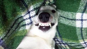 Vinnarbilden i april blev på sjuåriga hunden Archie som ler brett när han ligger i favoritfåtöljen. Foto: Jan Nordström.