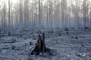 Skogen kring Ängra efter branden. Hälsingland har drabbats av de svåraste skogsbränderna i modern tid.