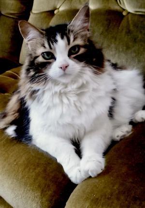 425) Katten Nia njuter i grannens soffa. Foto: Inger