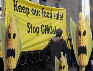 Det är fullständigt säkert att äta GMO-mat, enligt forskningskonsensus. Men delar av miljörörelsen (här Greenpeace) vägrar ta till sig det.  Foto: Thierry Charlier