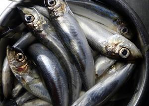 I förra veckan kom en rapport om fisket i Östersjön och Bottenhavet, en larmrapport som beskrev utfiskning inte endast av torsk utan också av strömming, skriver Görel Thurdin.