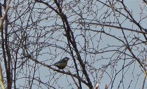 Talgoxen sjunger in våren