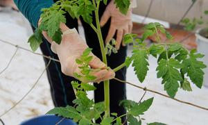 Skotten, som kallas tjuvar, plockas eftersom de drar näring från plantorna.