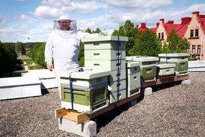 Edward Warburton har lyft upp fem bikupor på Gävle teaters tak. Här ska han i sommar odla en grönskimrande och mintsmakande lindhonung.