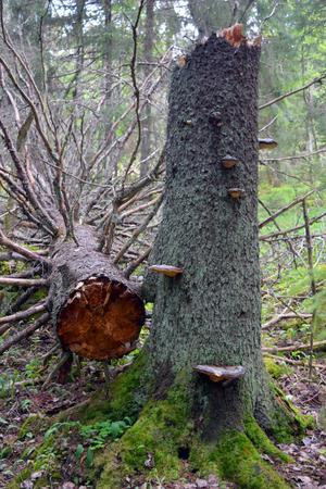 Enstakan äldre och grövre granar har levt kvar i området sedan det nyttjades för slåtter och som betesmark.