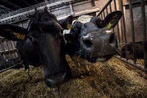 Korna är nyfikna på sina besökare.