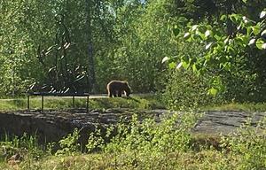 Robert Fors har sett björn vid tre tillfällen under våren, och senast vid Loos koboltgruva.