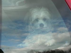 Lilla Fifi tycker om att komma ut på en biltur. Här ser det ut som omhon svävar bland molnen när hon tittar ut genom rutan!