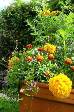 Tagetes är en av alla blomsorter i den stora trädgården.