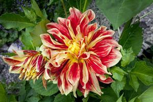 Den rödorange dahlian kallad Akita är en av besökarnas favoriter i Anna-Karins trädgård.