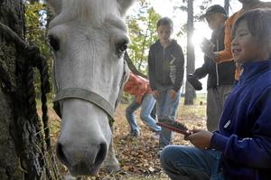 Omringad. Ponnyn Jasmina stod lugnt och åt sitt hö medan ägaren Jessica Galin och de andra barnen pysslade om henne.