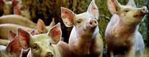 Svininfluensan är sannolikt ett helt nytt virus, men kan ha funnits hos svin en tid innan det upptäcktes hos människan