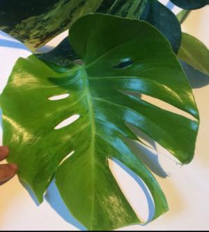Monstera deliciosa variegata aurea är den dyraste sticklingen som såldes på Tradera 2019. Foto: Tradera.