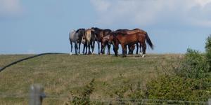 En grupp hästar vid Ales stenar i Skåne. Foto: Lotta Andersson