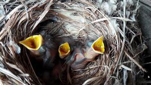 Tre stycken hungriga fågelungar som har flyttat in i en kvarglömd keps. Foto Siv Bergqvist Hallstavik