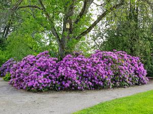 """""""Vacker rhododendron i Brandstationsparken i Kumla."""" Foto: Else-Britt Björk"""