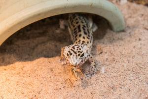 Gecko käkar en syrsa.