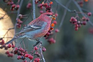 Hanarna är klarröda. Foto: Torbjörn Arvidson