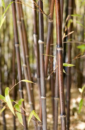 Att använda bambu är inte bra för miljön.Foto: Fredrik Sandberg/TT