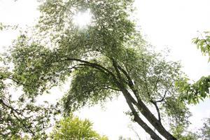 Den lutande häggen bildar ett tak.