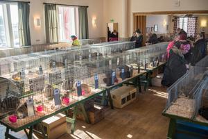 Över hundra kaniner tävlar om att vara den vackraste i Västmanlands och Örebro län.