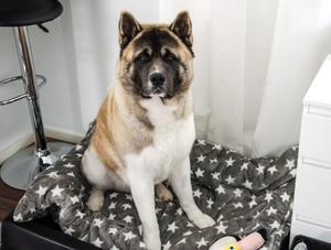 Maximus är en rejäl hund. Han är 67 centimeter hög och väger cirka 50 kilo.