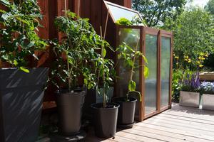 På altanen står krukor med tomat och chili. I det lilla växthuset har gurkorna börjat växa till sig.