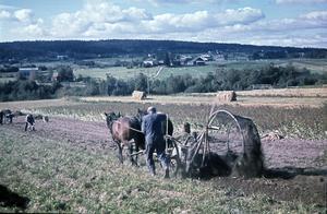 Hårt arbete i potatislandet. Gådeå by utanför Härnösand, okänt årtal.