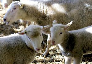 De må vara ulliga och gulliga men efter fem månader går de flesta lammen på Hälla gård till slakt.