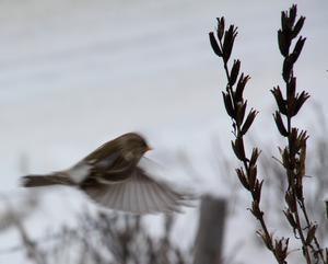 Foto: Harald Eriksson. Gråsiska, vinterns fågel, på väg mot matstället,en frökapsel av nattljus..