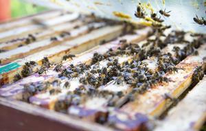 I varje bikupa kan det bo cirka 50 000 bin och det är honorna som gör allt arbete som sedan blir till honung.