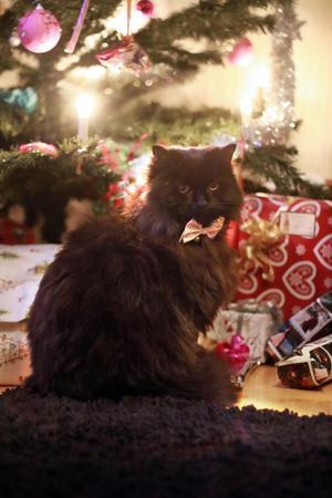 266) Huskatten Tussan poserar fint framför julgranen. Foto: Josefine Strömberg