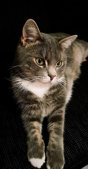 101) Jag heter Rocky och är 3 år gammal, min matte och husse skulle bli jätte glad om jag vann årets Lusse katt  Foto: Amanda Lindqvist