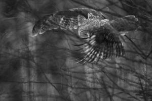 Den här bilden av en lappuggla tagen av Mikael Larsson, Naturfoto Västmanland, och många andra naturfoton