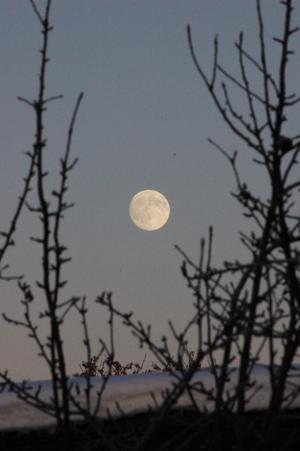 Månen i en öppning bland äppelträdets grenar vid solnedgången den 30 dec 2009