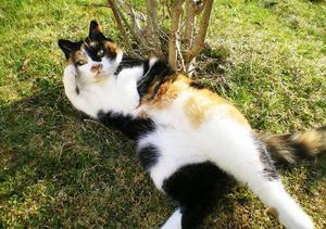 """ida tröstar en när man är ledsen.""""Vår katt Ida är den goaste katt som finns, hon är utekatt och är väldigt självständig men hon kommer ofta och vill gosa. Är man ledsen kan hon alltid trösta en. Ja, man blir på bra humör bara av att se henne. Ida är snart 11 år. Visst skulle det vara kul med en hund...men katt är bäst!"""" Bilden är inskickad av Britta Sterner, Svenstavik."""