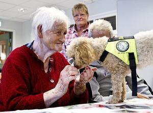 HÄlsar på hos pensionärerna. Rehabhunden Dolly hälsar på 82-åriga Alice Larsson. Dolly arbetar en gång i veckan på äldreboendet Bysjöstrand i Ockelbo, något de boende verkligen uppskattar. I bakgrunden syns Dollys matte Gunlög Söderström.