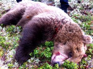 Björnhonan som var 6-8 år gammal var rätt stor. Hon vägde uppskattningsvis mellan 180-200 kilo.