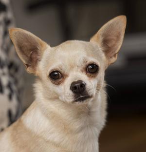 Nu är den lilla chihuahuan hemma hos sina ägare igen. (Hunden på bilden är en annan chihuahua.)