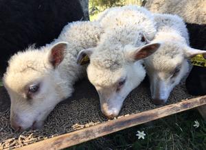 Tre av lammen på Mosstorpets fårgård i Saxdalen.