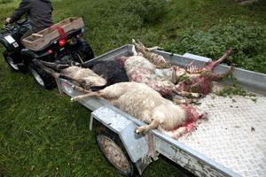 Kostar. Av vargen rivna får i Rörbo. Vi får alla betala på något sätt.foto: VLT:s arkiv
