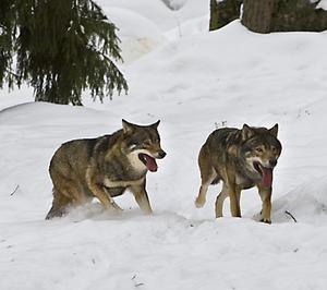 Att ett vargpar etablerat sig utanför Junsele är unikt. Junselevargarna på bilden hör dock till djurparken.