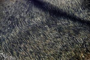 Miljontals löjor äter sig mätta i Söderhamnsån.