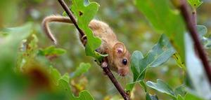 Hasselmusen är en skygg liten gynnare. Det här fotot togs när Hasselmusexperten Boris Berglund hittat ett bo och väckt mössen (som annars sover på dagarna).