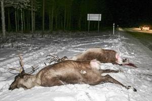 Två av 74 renar som dödades mellan Sveg och Linsell. Det är länets mest olycksdrabbade sträcka och det var enbart renar som bilarna körde på där under 2016.