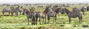 Zebror och gnuer strövar i 100 000-tals mellan de olika slätterna i Tanzania och Kenya för att finna bete och vatten. Kring vår jultid är de ofta koncentrerade i väldiga hjordar i Serengeti.